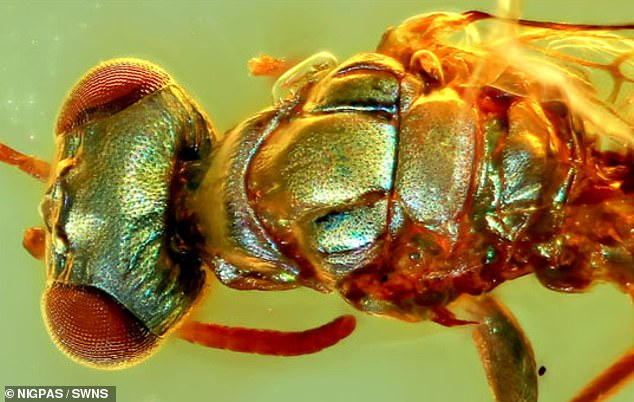 The specimens from Myanmar ¿ which also included beetles, ants and a soldier fly ¿ largely retained the colours they would have sported in the time of the dinosaurs. Pictured, acleptine wasp preserved in the 99 million-year-old piece of amber