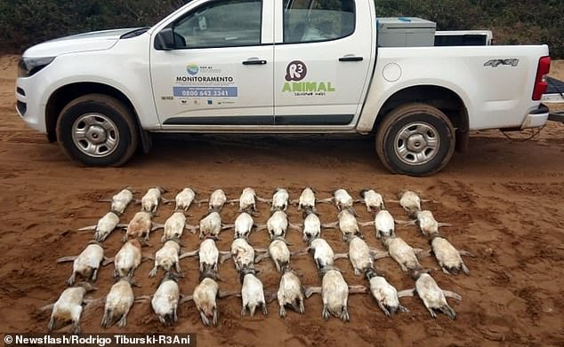 70 deadMagellanic penguins were discovered washed up on two neighbouring beaches,Santinho and Mocambique, in south-eastern Brazil