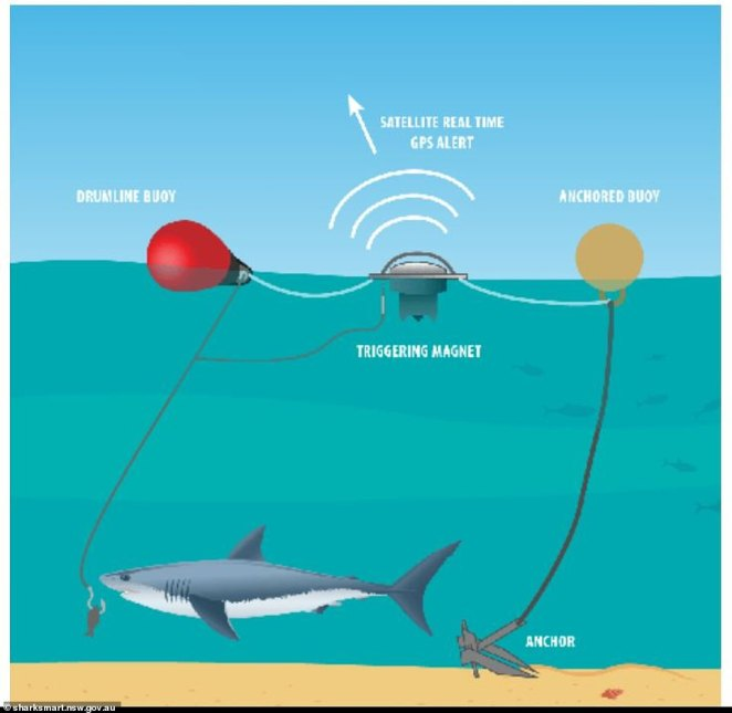 Using drones and a system known as SMART Drumlines the NSW government aims to track sharks more effectively when they enter waters populated by people. Pictured is the system that uses a baited hook and GPS to monitor sharks