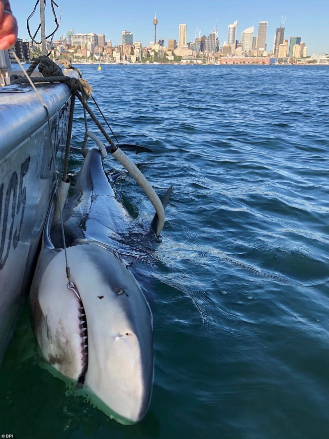 This predator was tagged under the NSW Shark Program which aims to monitor the animals when they swim in or near waters populated by people