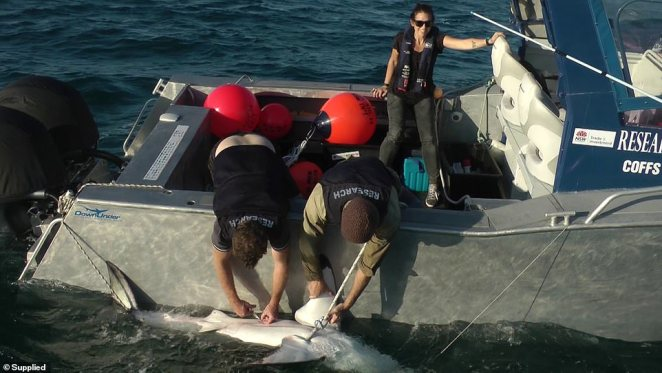The new technology will work alongside the existing shark tagging program to monitor sharks across the NSW coast