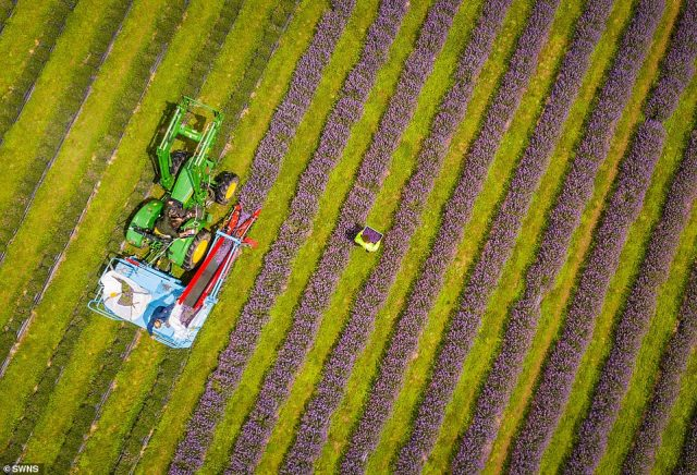 A tractor harvests rows of the the lavender crop, as AlfredBuckingham carries a crate filled with the pungent flowers