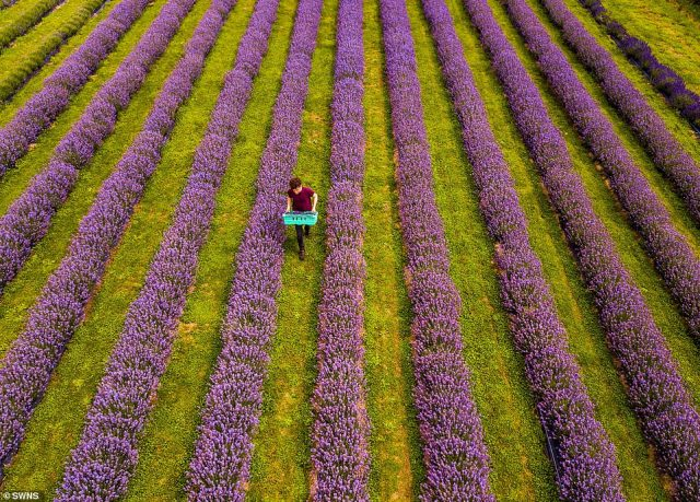 Mr and Mrs Hall-Digweed have been harvesting lavender at Roskorwell Farm for four years, after admiring the crop when visiting Luberon, France