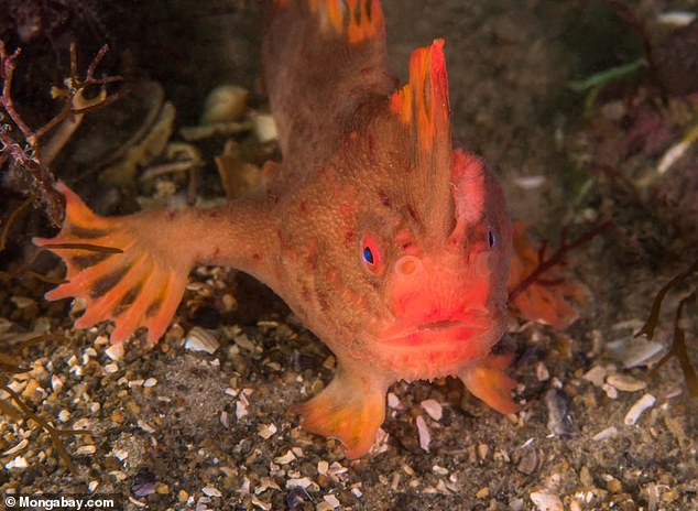 Scientists have made a depressing discovery – the first marine fish of modern times has been declared extinct. The smooth handfish has officially been wiped from the south-eastern Australian waters due to habitat decline, pollution and destructive fishing practices
