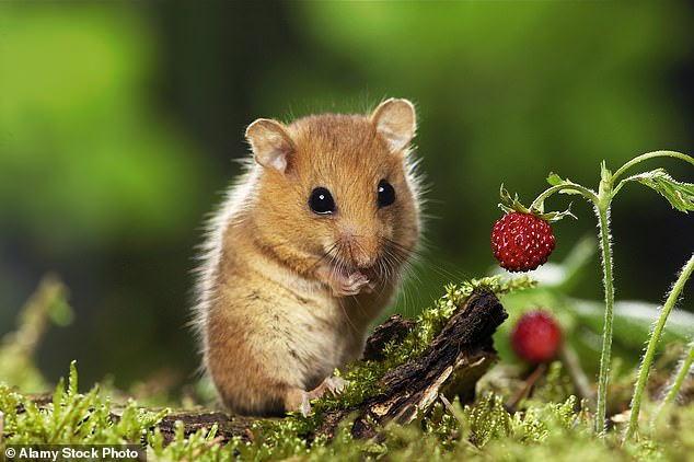 The hazel dormouse (pictured), most commonly found in Britain, is known for its adorable drowsiness, hibernating for up to seven months of the year