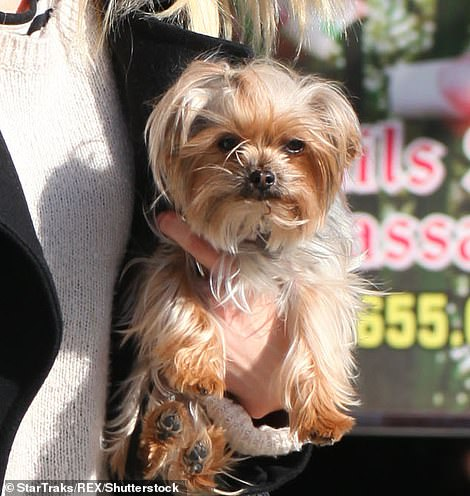 Depp told the court today that he did not believe Heard's tiny Yorkshire terrier Pistol (pictured) could have defecated in the bed, and blamed Heard's trans activist friend iO Tillet Wright