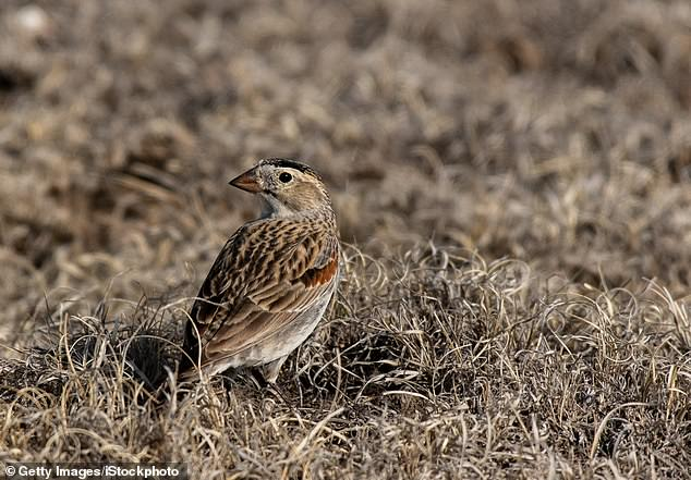 Ornithologists and birdwatchers are putting pressure on the American Ornithological Society to rename McCown's Longspur (pictured), over its ties to a Confederate army officer