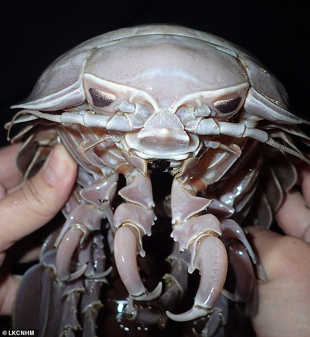 A gruesome-looking 'Darth Vader' sea cockroach discovered at the bottom of the Indian Ocean has been identified as belonging to a new species. Pictured, Bathynomus raksasa