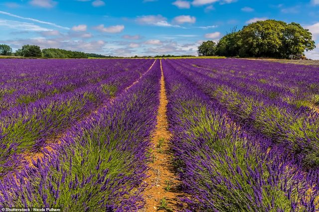 And farmers have been making the most of the fine weather to harvest their bumper crop of lavender as the UK looks forward to a warm weekend. Pictured is a lavender field in Norfolk
