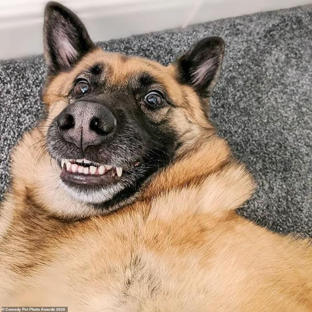 Say cheese! Nicole Rayner's Smiley reveals a hilarious angle of her pet Mimi the German Shepherd from above - which made it look like a selfie. Taken in Stockport, Greater Manchester, Nicole said: 'I was rubbing her belly and then asked if she's ready to go walkies, her reaction was priceless'