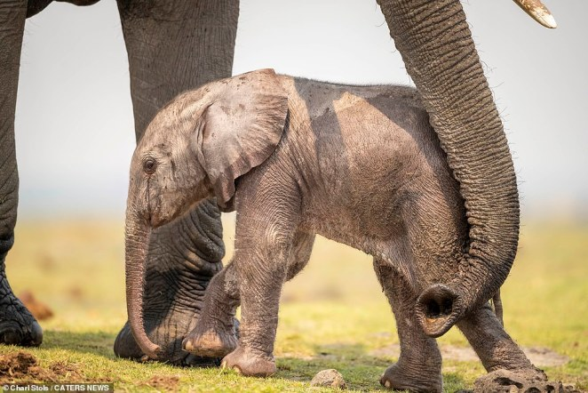 'It was very special moment. We have lots of elephants in Chobe but that must have been the youngest elephant I'd ever seen,' Stols said