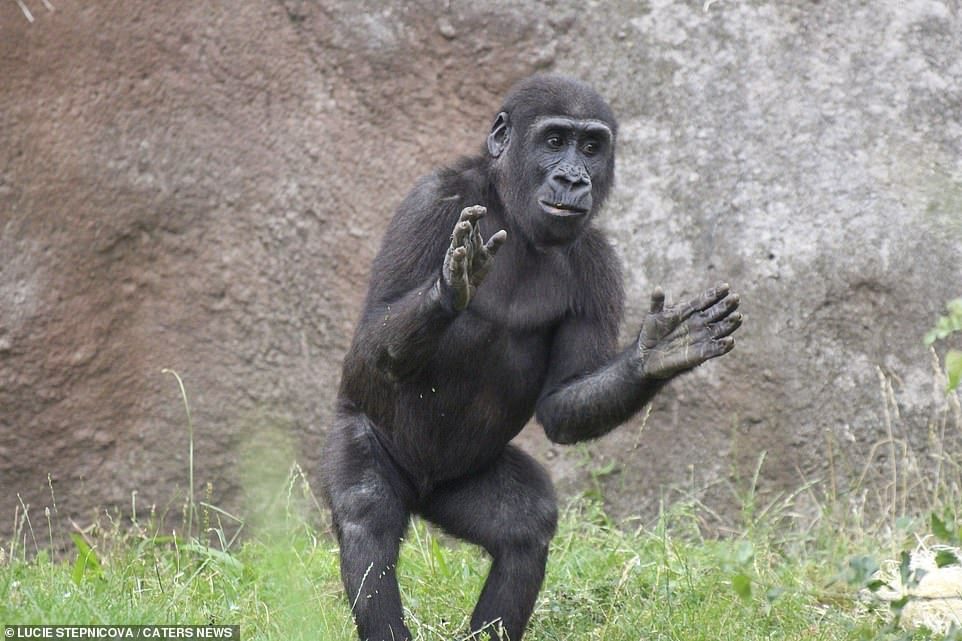 The gorilla stands mid clap facing his enthralled audience. Stepnicova said she has been visiting the family of gorillas for 14 years