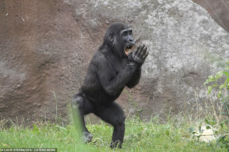 The gorilla stomps and claps his hands as he entertains members of the public at the zoo, shouting and singing