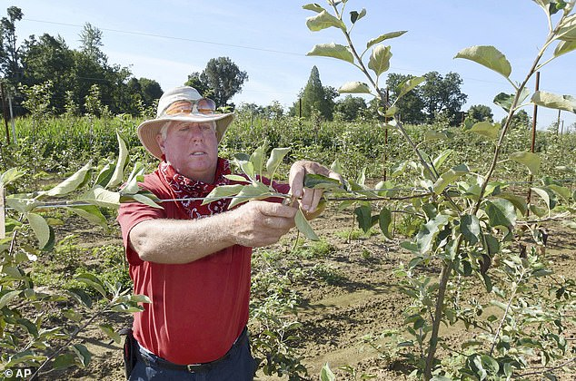 Billy Reid of the famed Reid Orchards trains the limbs of a yellow delicious apple tree on July 15 in Owensboro. Training the tree will help them to grow to fill the trellis system with branches and to have a good balance and to produce more fruit