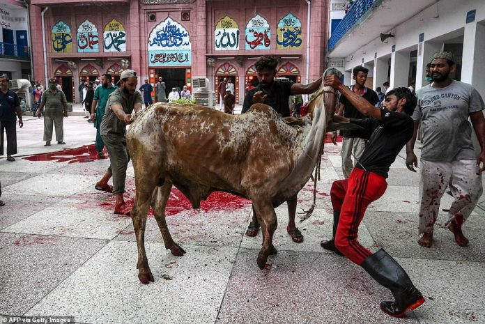 In the photo above, worshipers prepare to sacrifice a camel in Lahore as part of their celebrations