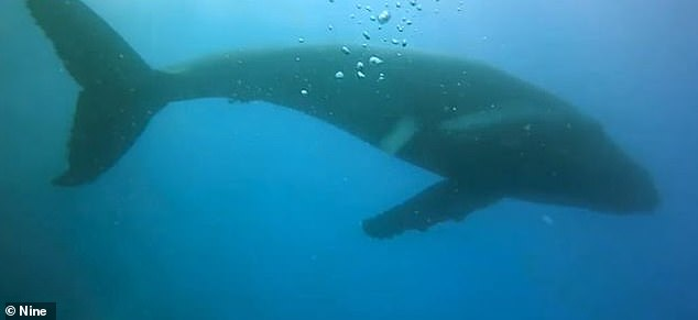 The 30-year-old said: 'Mum went into protective mode and as she swung back and as she did that to put herself between us and the calf her fin went out and got me' (a whale in the area)