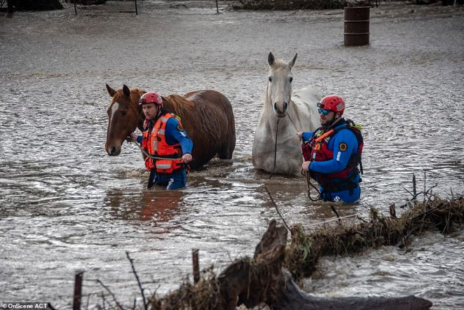 Pictured: Rescue crews saving two horses amid rising flood levels in Canberra, as a kayaker's body is pulled from a stream