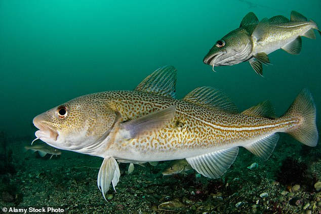 Cod fish (pictured) cannot survive in seas that continue to warm.The Celtic Sea, English Channel and southern North Sea have experienced significant warming over the past 40 years