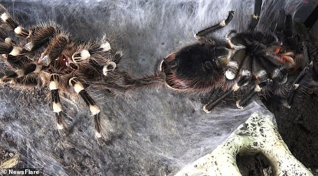 Earlier this year, a tarantula wa caught on camera shaking off its old skin in a strenuous molting process. Incredible time-lapse footage shows the Brazilian whiteknee tarantula completely shedding its skin while shaking intensely