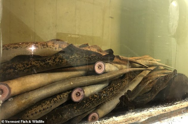 The sea lampreys are described as a 'nuisance species' by the Vermont Fish & Wildlife, and survive by parasitizing other fish, attaching to their bodies and sucking out blood and other body fluids for sustenance