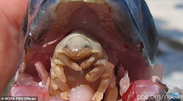 The tongue eventually withers away and the isopod replaces it – acting as the fish's acting tongue. Pictured is an example of the parasite inside a fish's mouth