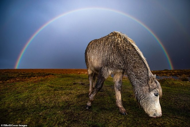 'In the wake of storm Jorge and after a thunderous hail storm, a full, beautiful rainbow appeared behind the semi feral ponies of Cefn Bryn common, Swansea,' said photographer Joann Randles. The pony is covered in mud after the storm saturated the grass and it grazes in front of the rainbow while paying little attention to the photographer