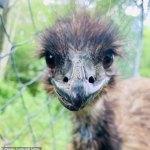 NPR journalist Stu Rushfield's pronounciation of the word emu sparks outrage in Australia