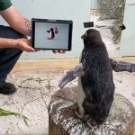 Perth zoo's Pierre the penguin seen getting over his loneliness by binge-watching episodes of Pingu