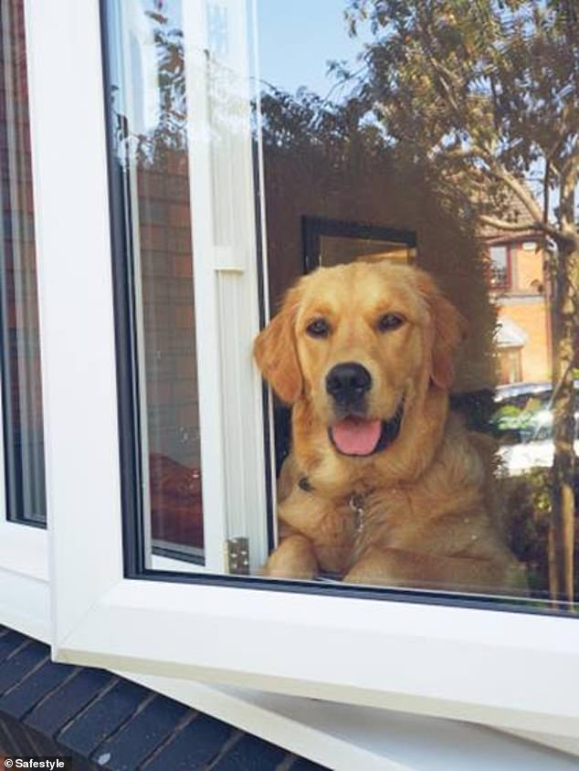 Kynda the golden retriever from Bolton is seen excitedly watching her owner. Kynda¿s owner, Gina, said: ¿This is Kynda watching me trim the conifer tree in the front garden.¿