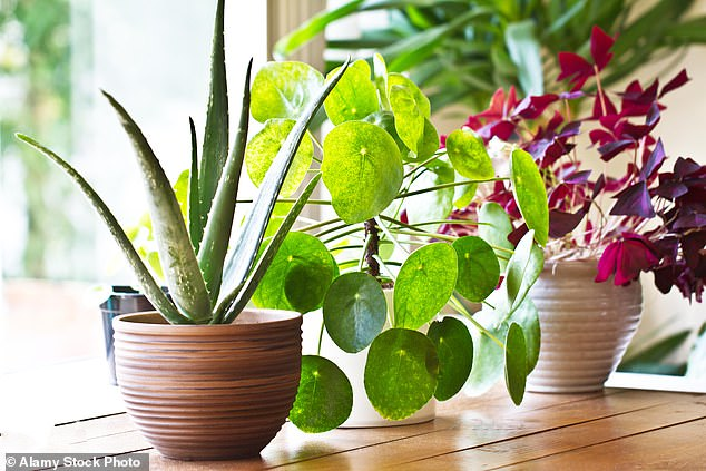 For in the years since he was roundly mocked for saying he talked to plants – and that they 'responded' – evidence has grown that he may have been on to something. Pictured: Stock photo of houseplants on a window