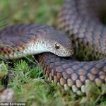 Astonishing moment HUGE tiger snake is found inside a toilet bowl in popular Melbourne restaurant