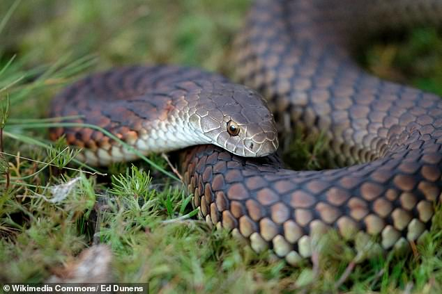 Copperhead (pictured) and tiger snakes are highly venomous and commonly found across southeastern Australia, particularly in Melbourne