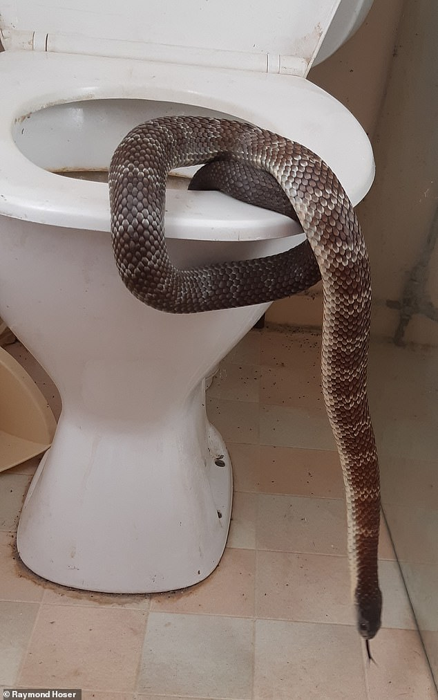 The deadly tiger snake was hiding in the loo behind restaurants on Yarra Street in Warrandyte