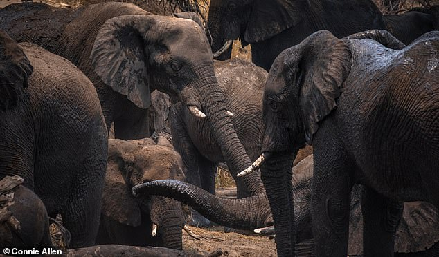 Male elephants in a pack. Old male elephants play a key role in leading all-male groups, new research from the University of Exeter suggests