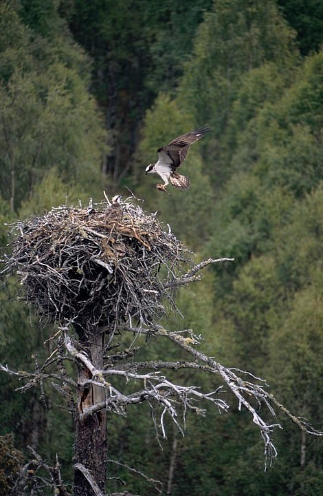 Two adult ospreys (file picture) and their chick have fled their nest during filming of reality show - and flown to another part of Llyn Berig reservoir near Snowdonia