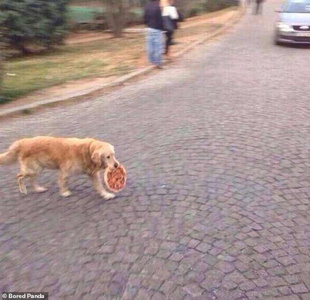 Caught: A cheeky British dog very nearly managed to get away with stealing a pizza before being caught on camera