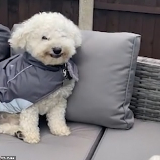 The 34-second-long clip shows the sweet white dog dressed up in a grey coat while sitting on an outdoor sofa