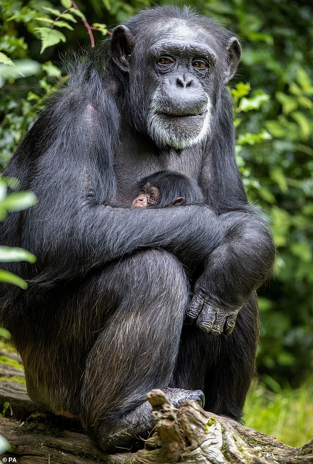The sex of the little one is yet to be determined but keepers said mother and baby had bonded