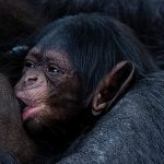 Chimpanzee, 43, cradles baby after giving birth at Chester Zoo