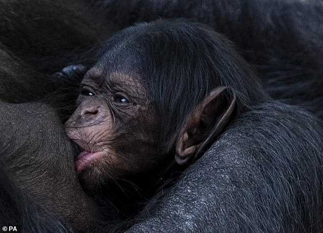 The baby chimp is pictured above with its mother at Chester zoo today