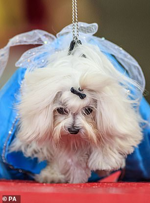 One of the smaller pooches wore an enormous fuschia pink dress, while another wore blue on the runway as part of the pageant