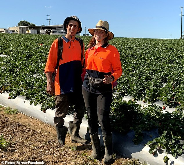 Italian backpackers, Lorenzo Scalesi (left) and Elena Frazzetto (right) pictured on August 5 at Pinata Farms, Wamuran, during winter strawberry season. Coronavirus restrictions have reduced the number of backpackers and foreign fly-in workers at the farms