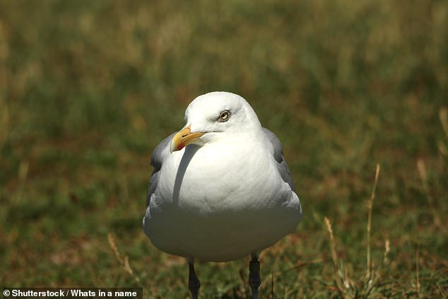 Seagulls notice where humans are looking — and flee faster when stared at, research into the behaviour of the food-thieving feathered fiends has found. Pictured, a seagull