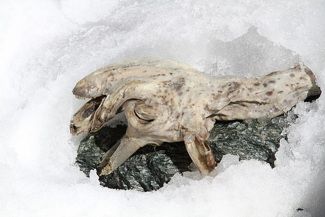Hermann Oberlechner discovered the 400-year-old remains of a chamois while hiking in South Tyrol. He said the animal's skin 'looked like leather, completely hairless'
