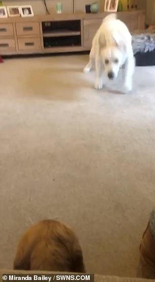 The cocker spaniel watches Luna run across the room