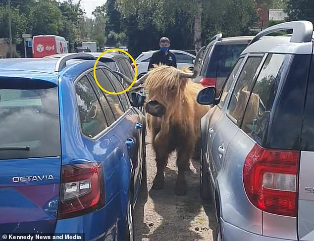 A Highland cow slowly edges its way backwards out from between parked cars at the Meadens Skoda dealership in Brockenhurst, Hampshire, with an employee standing nearby to oversee the manoeuvre