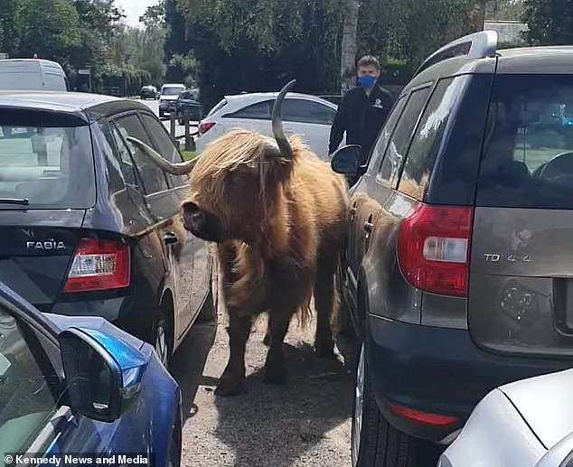 At one hair-raising moment, the cow turns its head towards one of the parked cars and narrowly avoids scratching it
