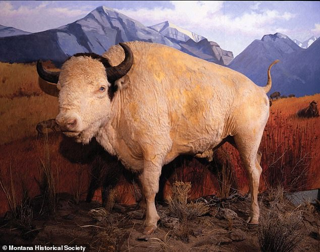 After his death in 1959, Big Medicine was stuffed and mounted and remains on display at the Montana Historical Society