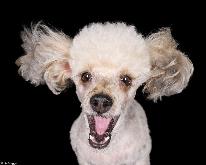 This adorable poodle was caught 'smiling' mid-jump by Liz. The photographer said to sit very close to your pet and to snap the picture as you throw a treat aimed straight to their mouths