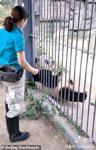 A video released by Beijing Zoo in May shows a keeper training Fuxing to roll around